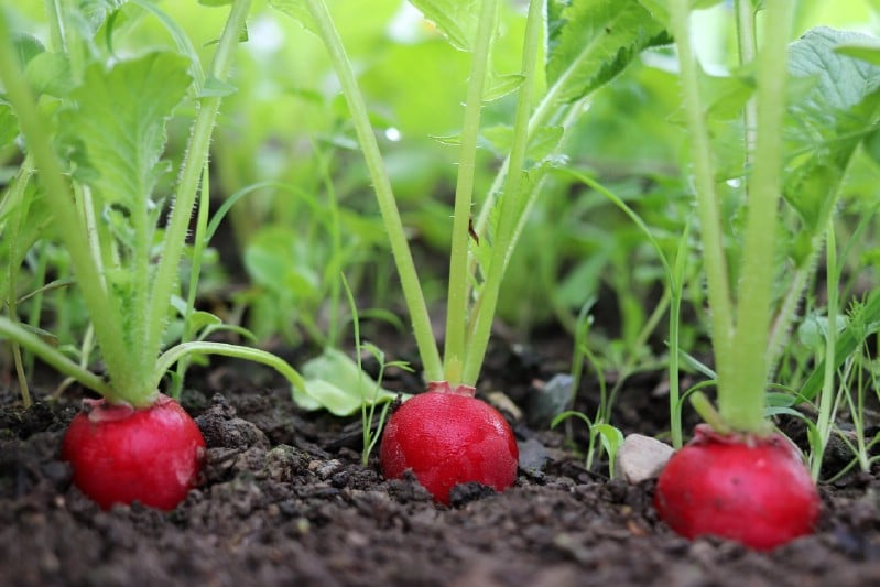 Radishes grown under tomato plants.