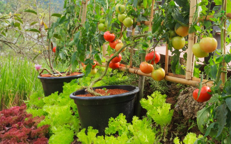 Tomato plants planted in buckets with lots of ripe tomatoes.