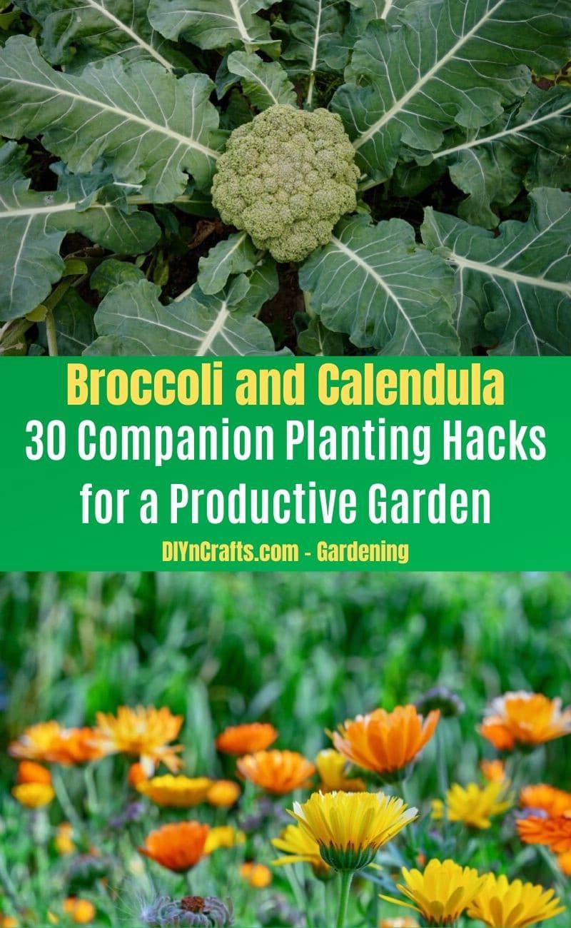 Broccoli and Calendula - Companion planting pairs