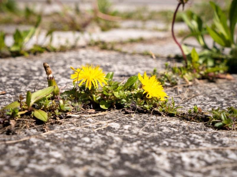 Weed between stepping stones