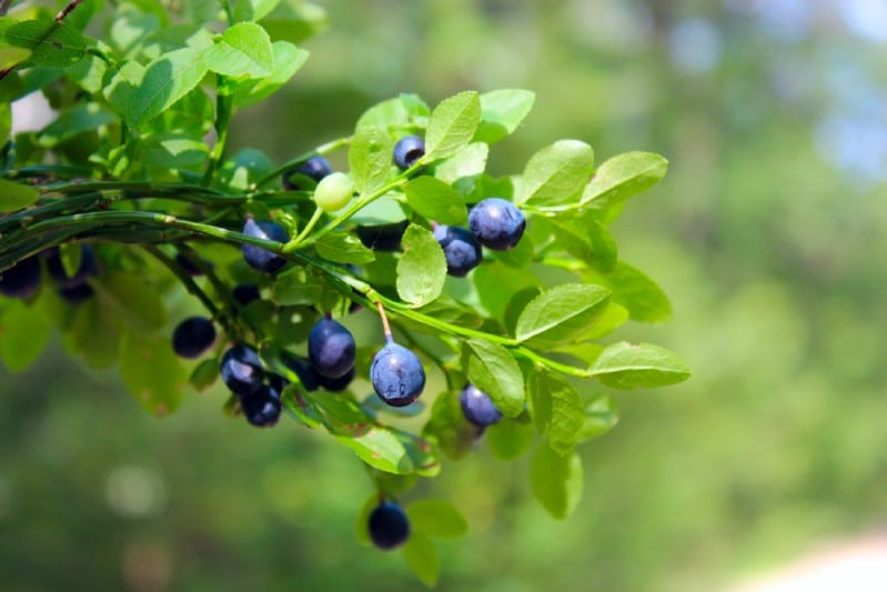 Huckleberries - Berry bushes to grow in your garden