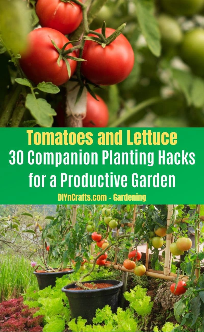 Tomatoes and Lettuce - Companion planting pairs