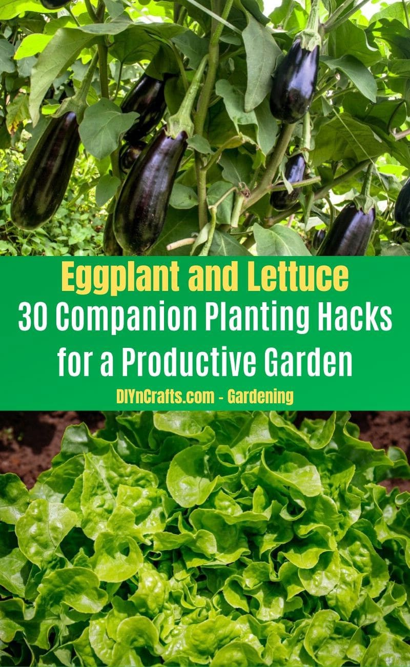 Eggplant and Lettuce - Companion planting pairs