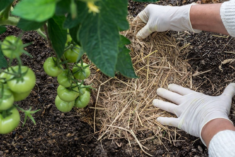 Adding straw mulch to tomato plants.