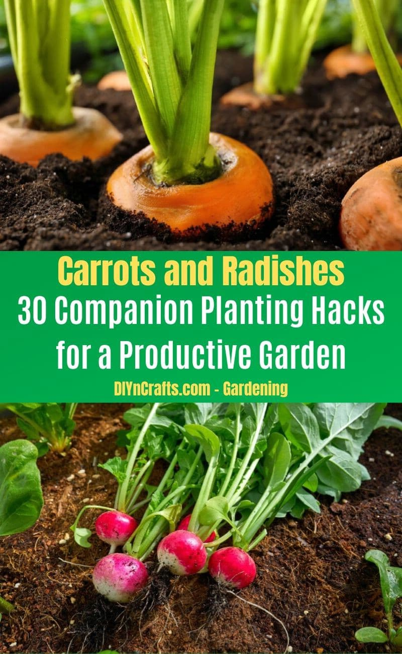 Carrots and Radishes - Companion planting pairs