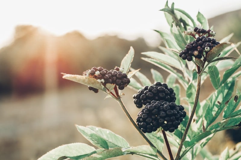 Elderberries - Berry bushes to grow in your garden