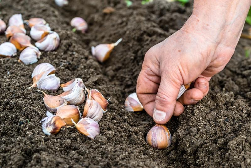 Garlic grown under tomato plants.