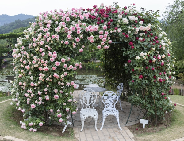 Rose gazebo with white chair