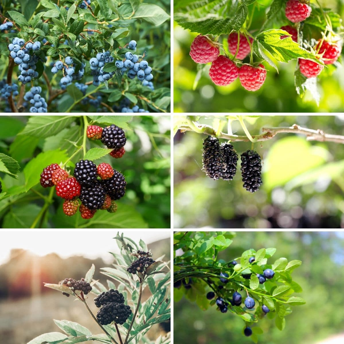 Photo collage featuring berry bushes from the article