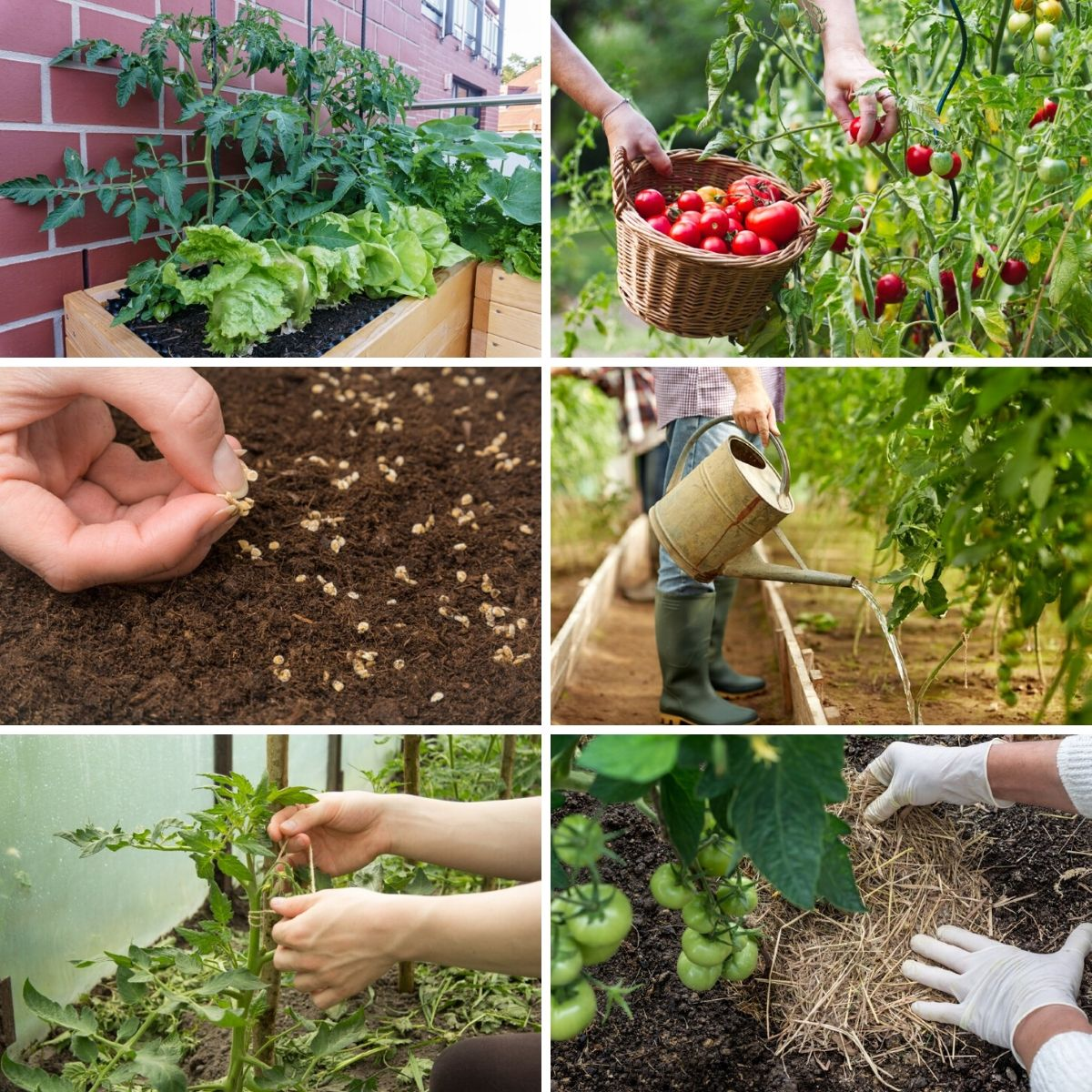 Square photo collage featuring several photos of tomato gardening mistakes.