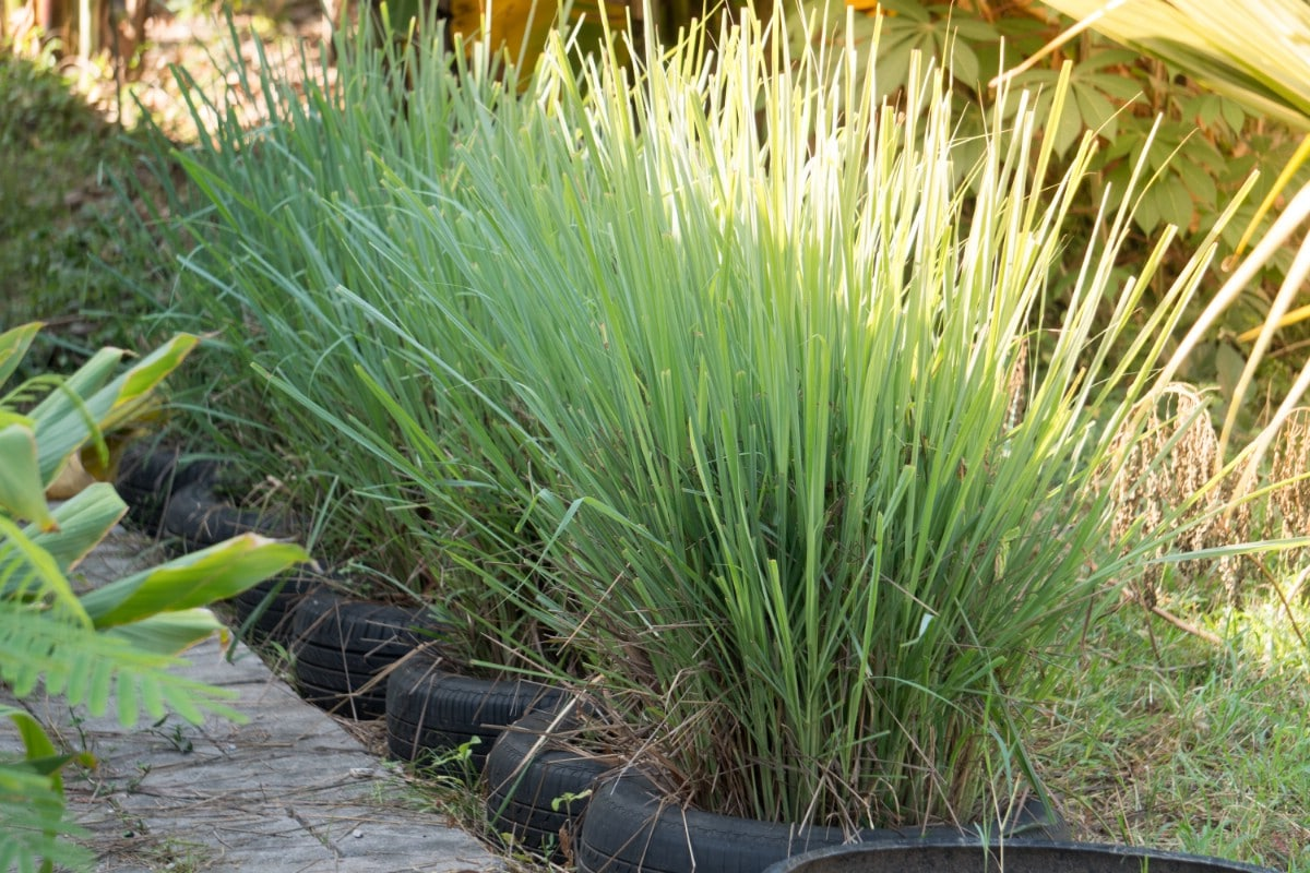 Lemongrass tire planters