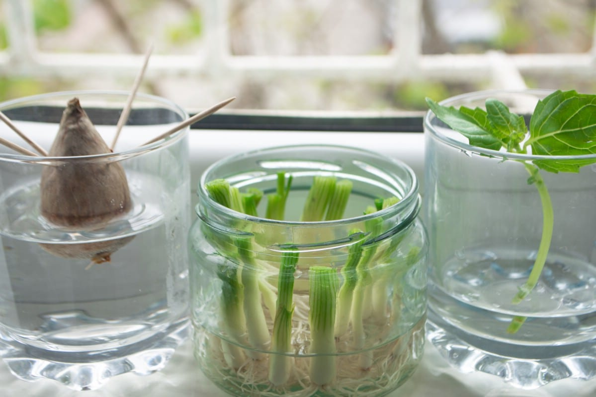 Regrow foods in empty jars.
