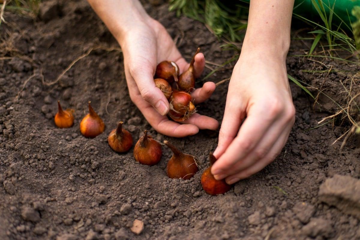 Planting tulip bulbs.