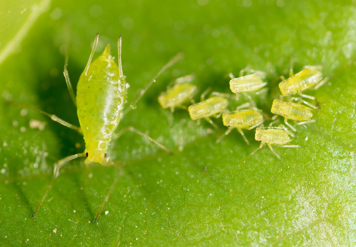 Aphids on a leaf.