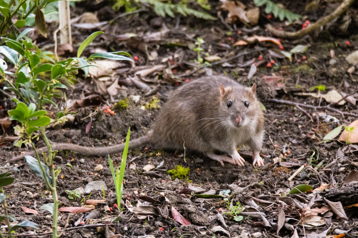 Brown rat in the garden.