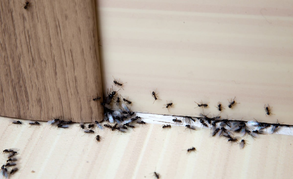 Ants under a door.