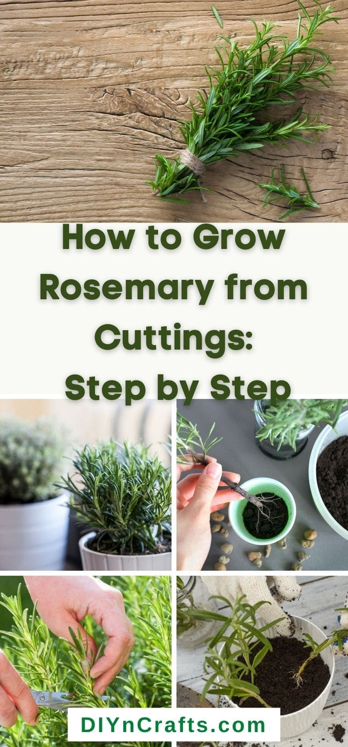 growing rosemary from cutting