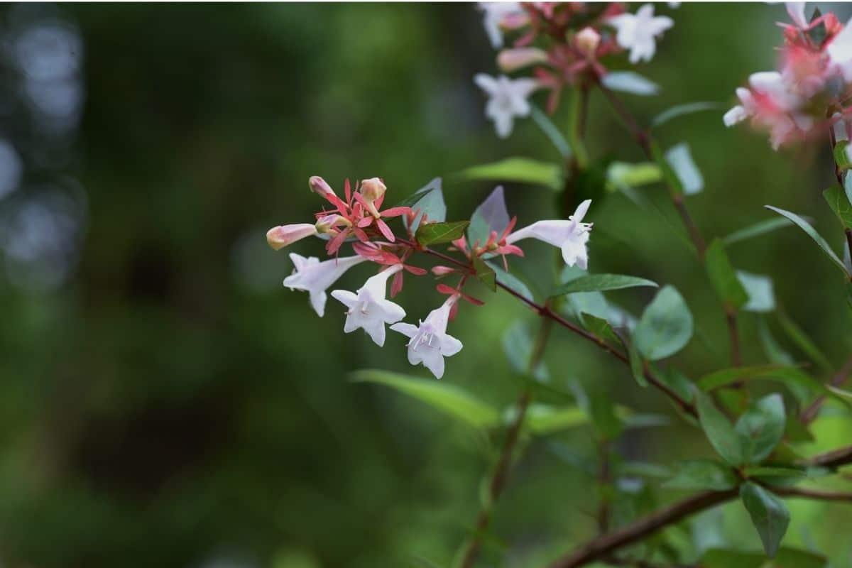 abelia flowers in a branch