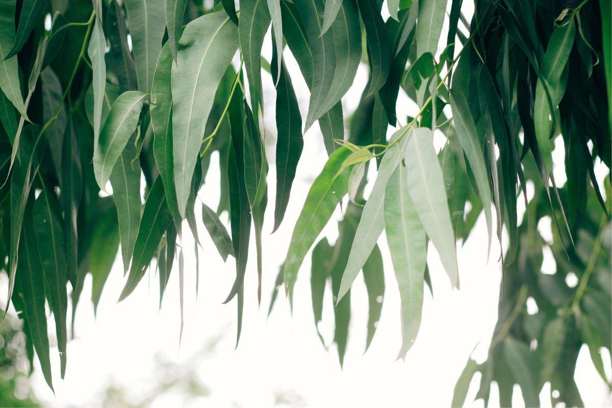 eucalyptus tree to keep pests away