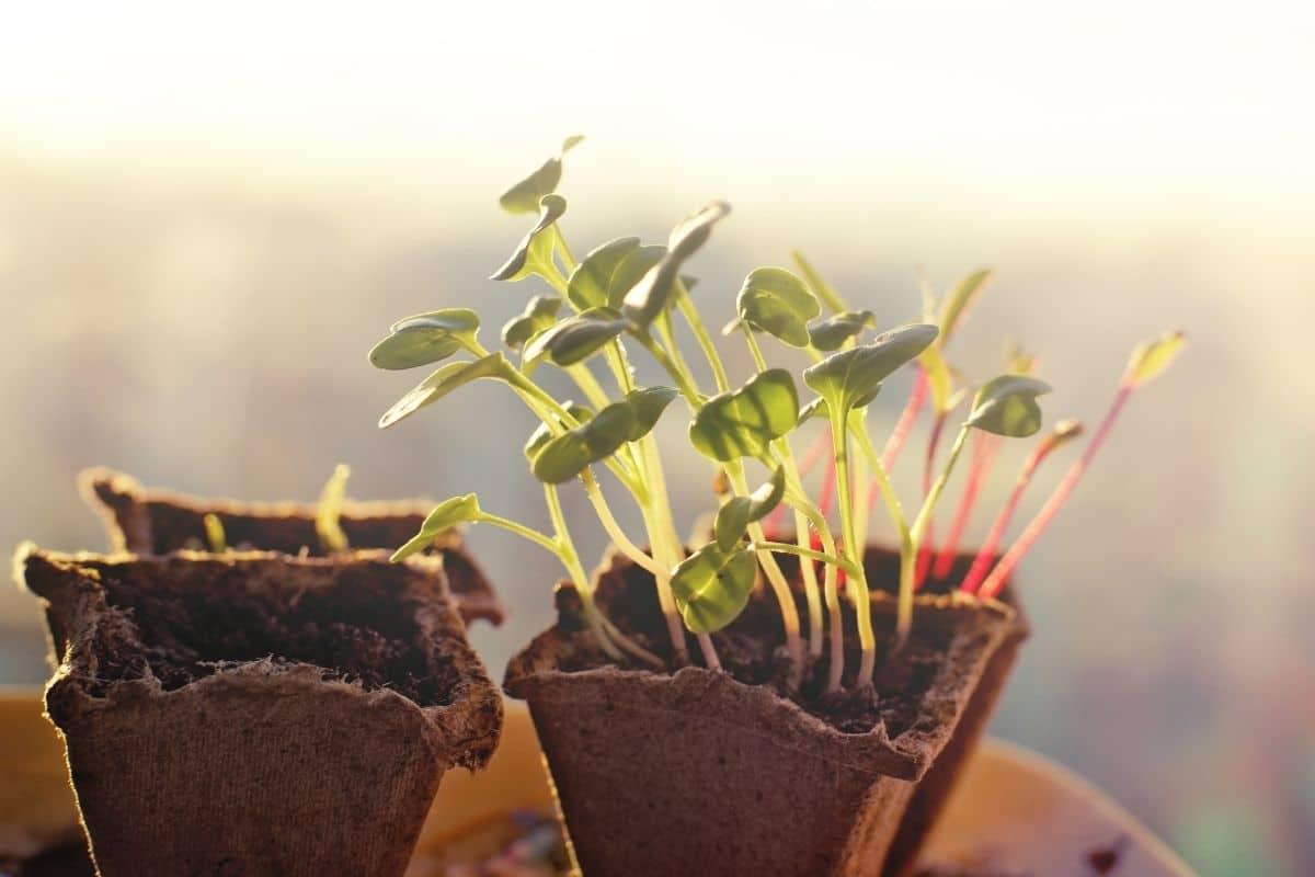 growing beet seedling