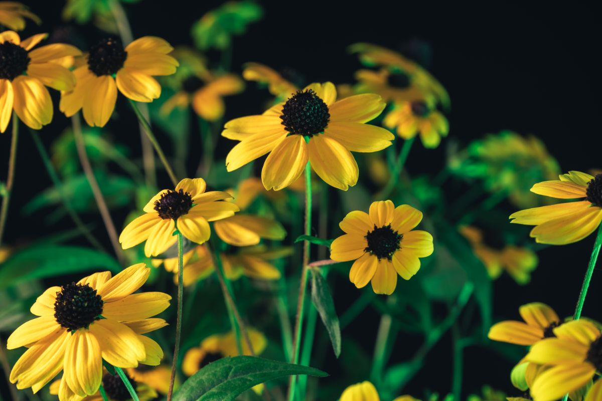 beautiful black eyed susans