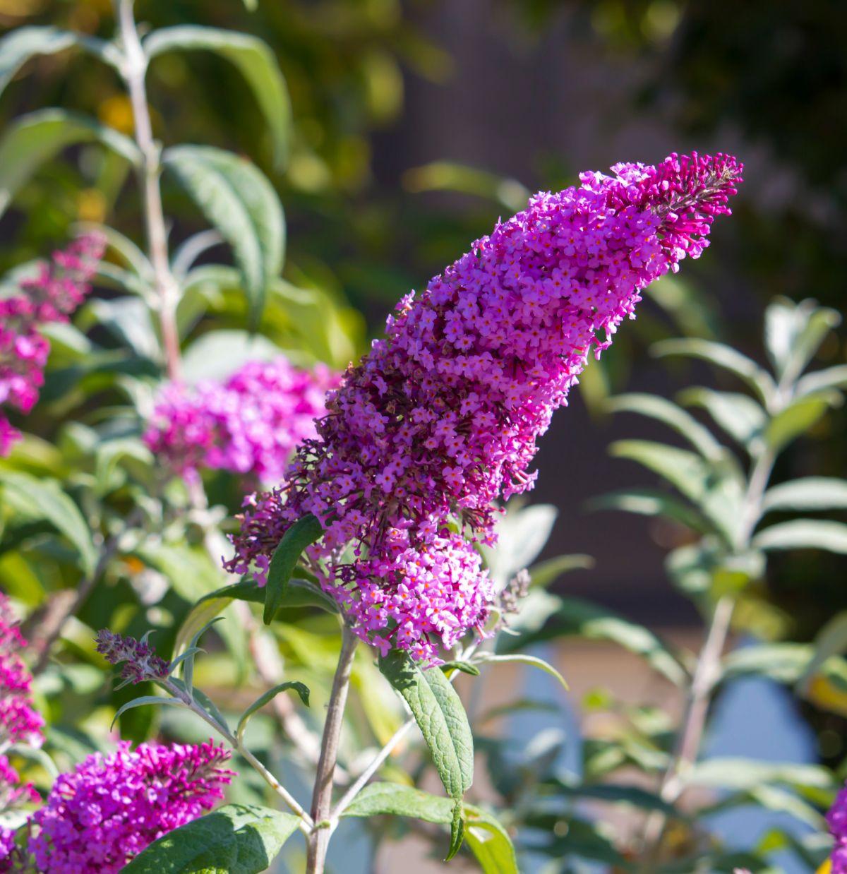 blooming butterfly bush flower in a garden