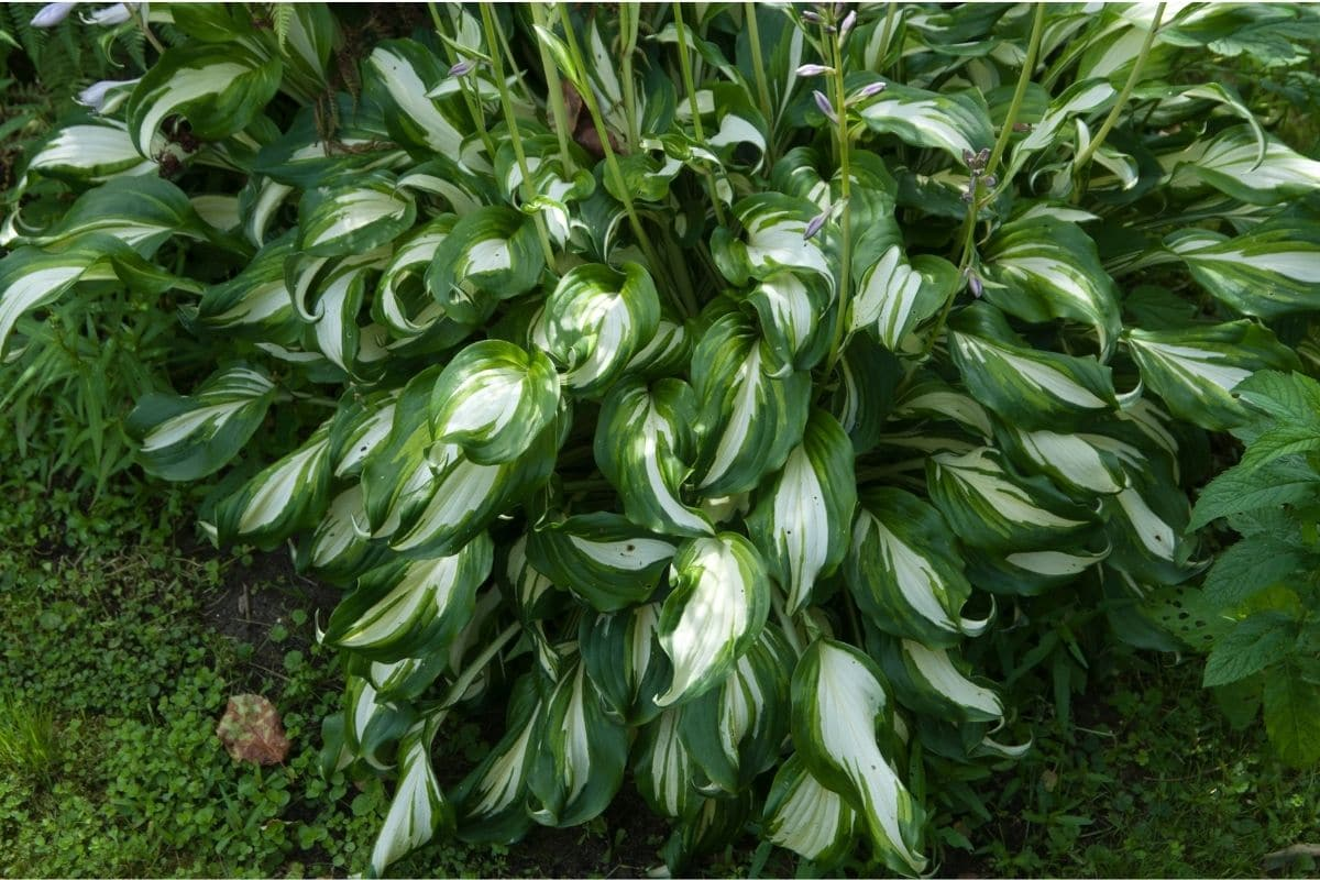 hosta bush in the garden
