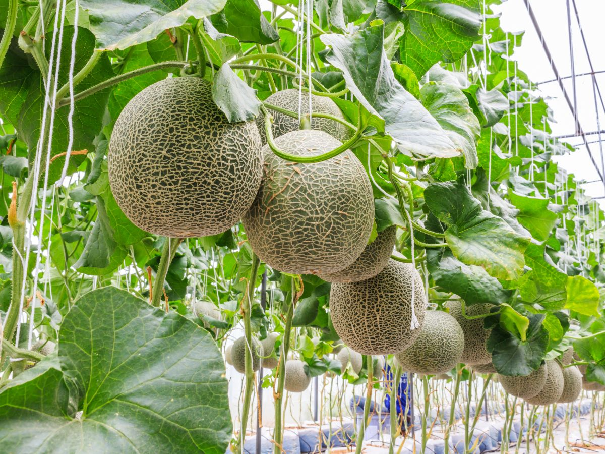 hanging melon in the greenhouse