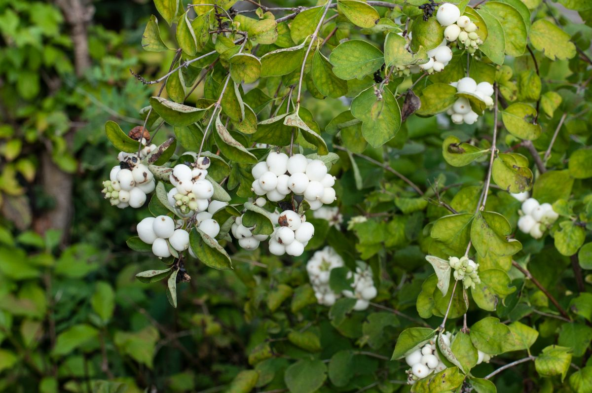 snowberry shrub and white fruits on the branches