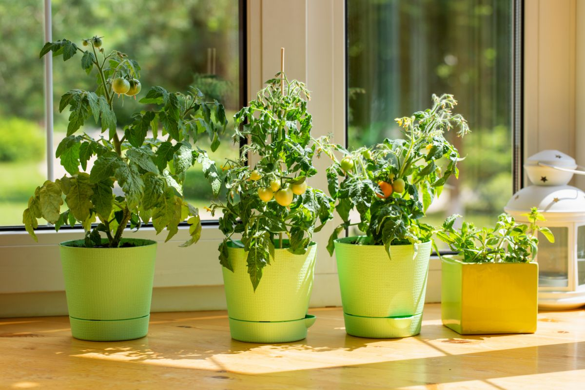 growing tomato plants in a green pot