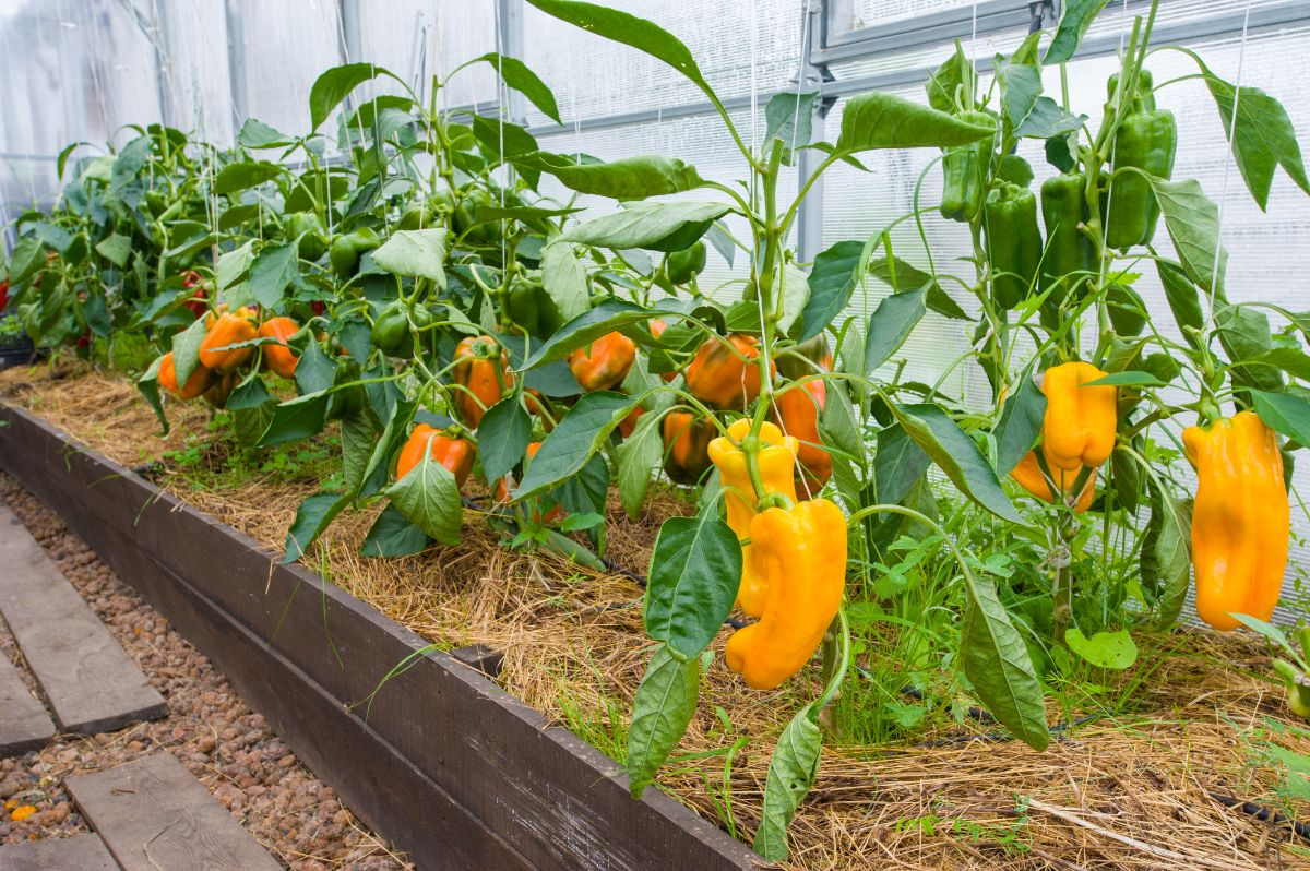 yellow pepper plants in a raised bed