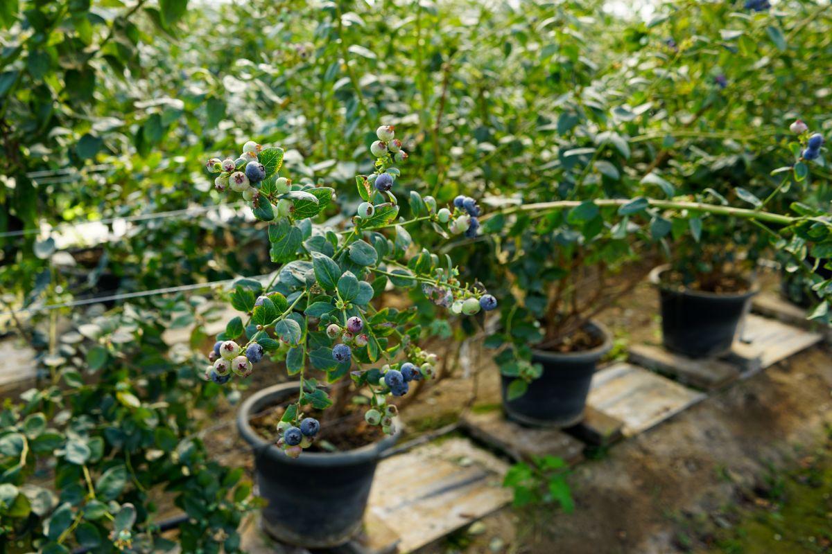 blue berry plants in pots