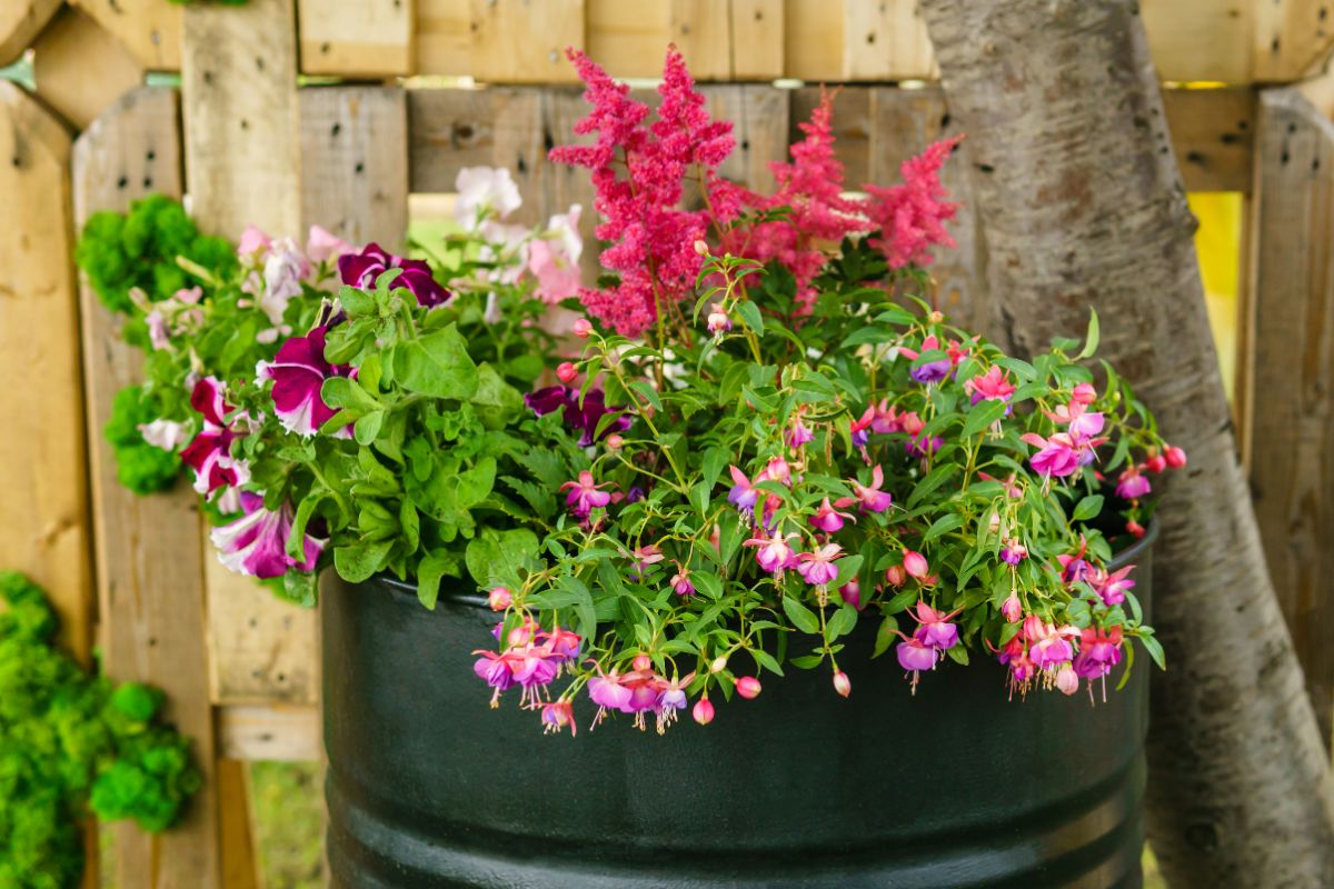 using barrel as raised bed for plants