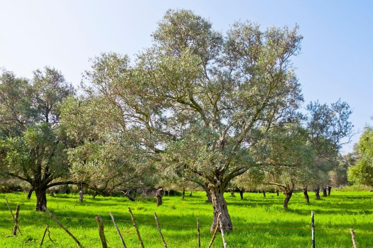 Tea Olive Tree in a field in summer