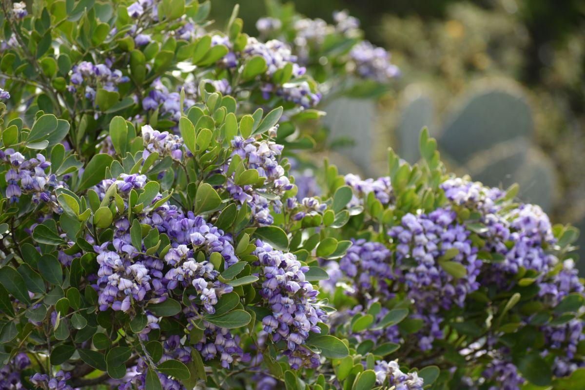 blooming flowers of texas mountain laurel tree