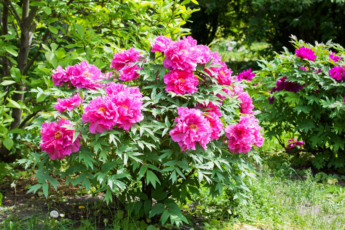 Tree Peony bush in the garden