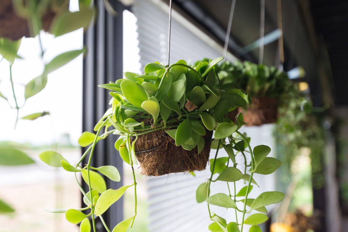 hanging plants by the window