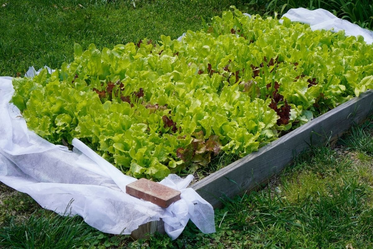 lettuce in a raised bed