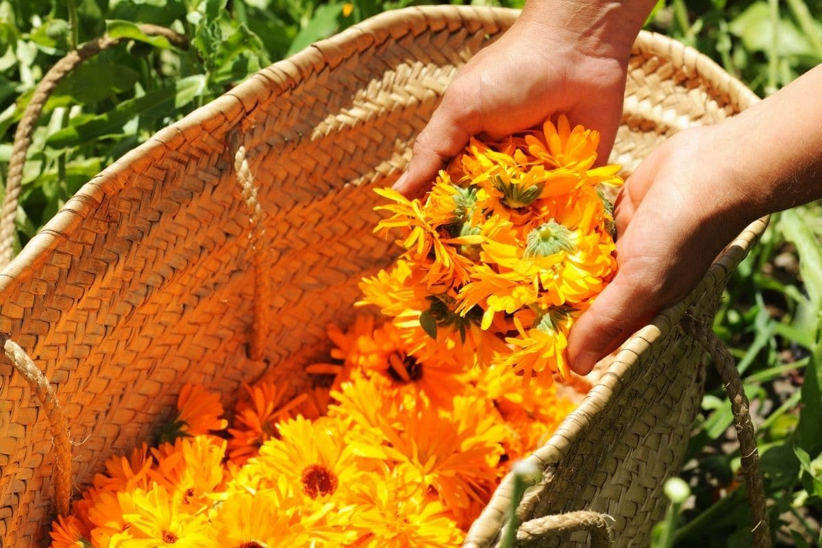 holding bunch of yellow orange flowers in a basket