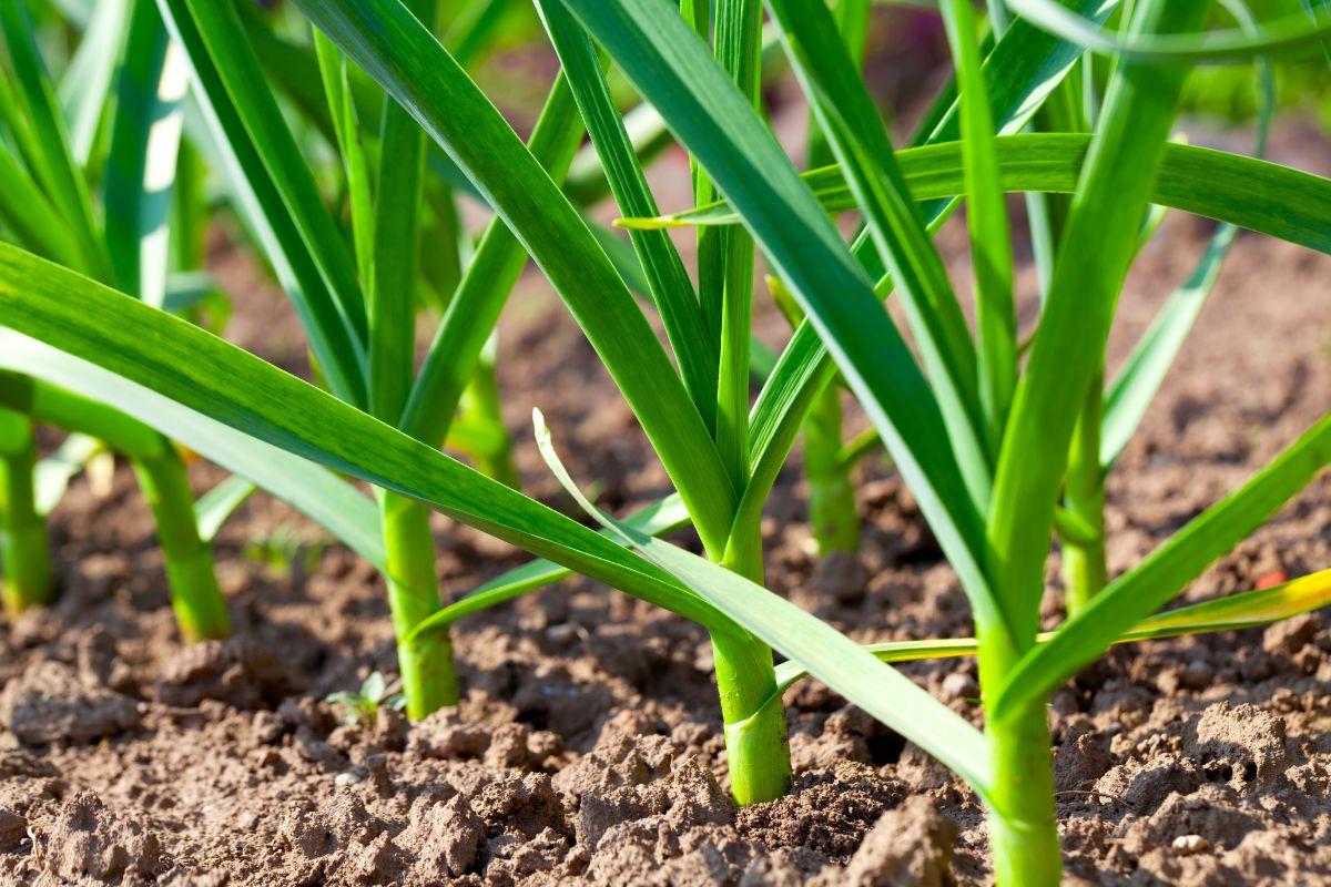 sapling or garlic in the garden