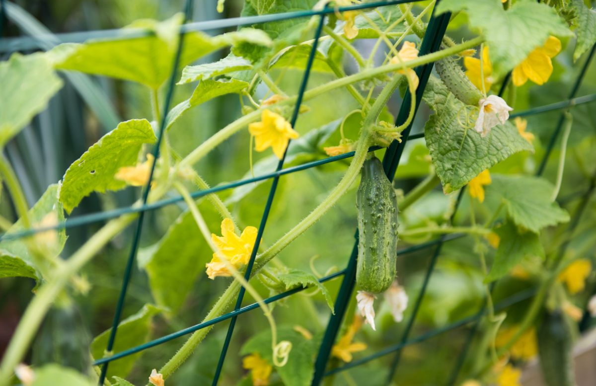 growing cucumber hanging in a wire trellis