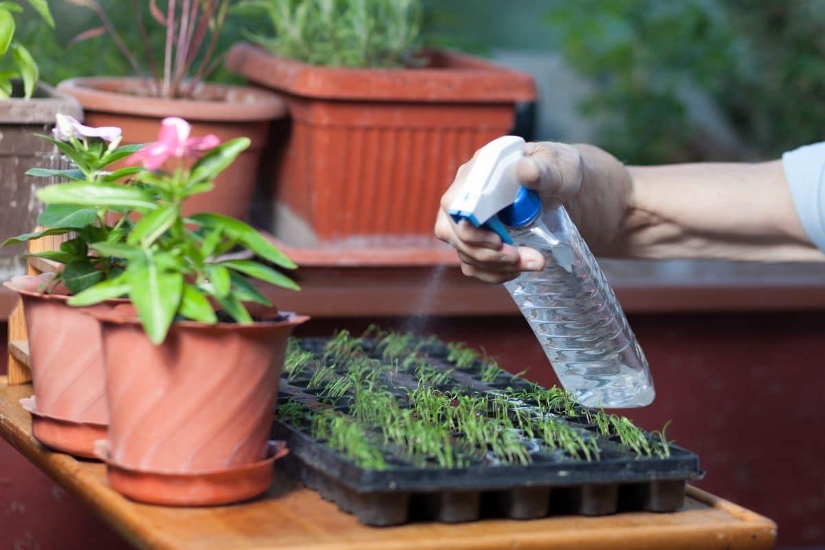 spraying water in a seedling