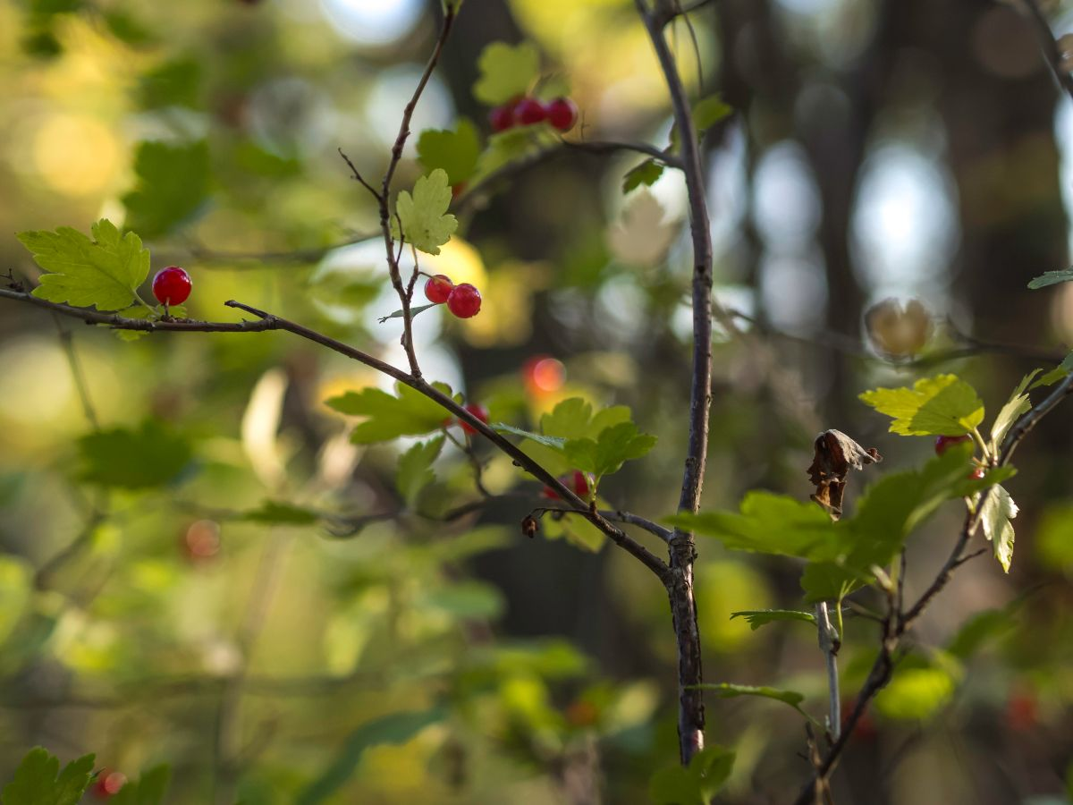 alpine currant branch with red berries