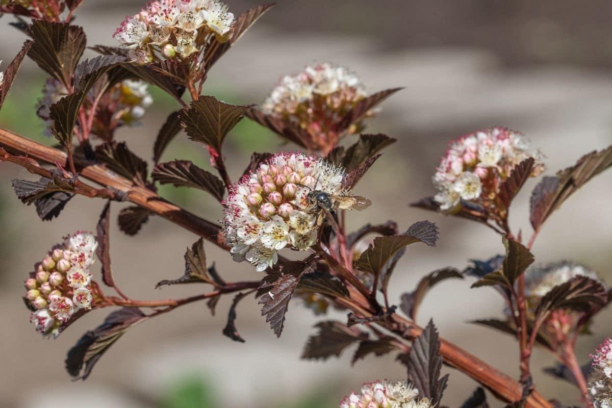Marroon leaved with white flower of Physocarpus opulifolius