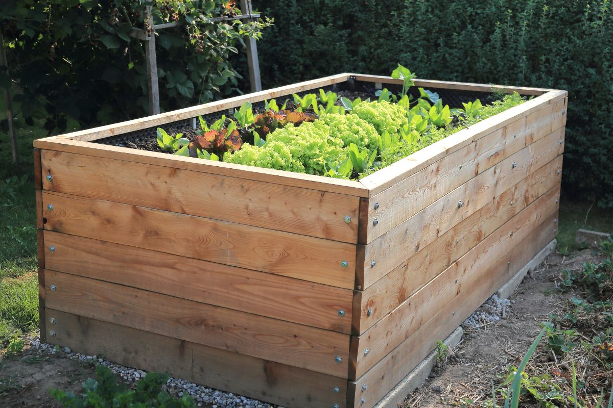wood raised bed with small vegetable plants