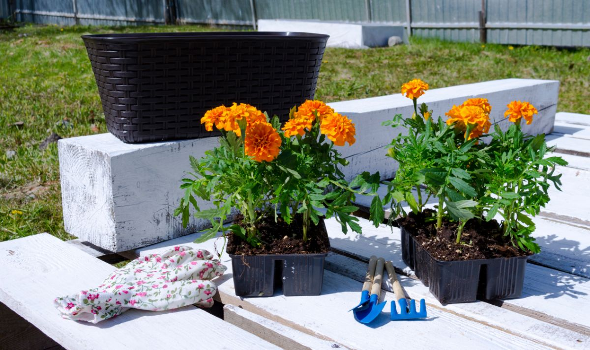 marigolds in a pot along with gardening tools