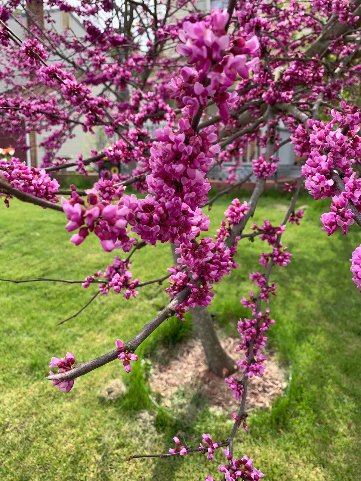 blooming flowers of redbud tree