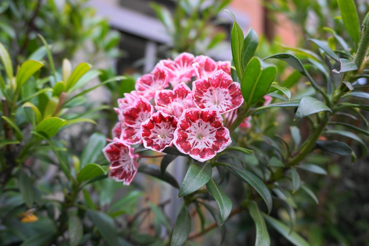 mountain laurel blooming in the flower garden
