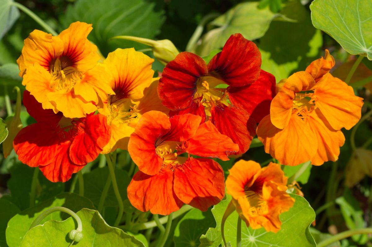 blooming nasturiums under the sun
