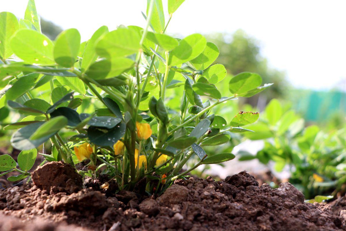 small peanut tree in a garden